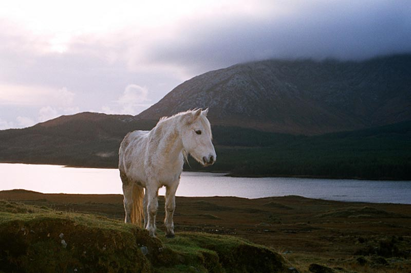 Connemara pony Photographic Print